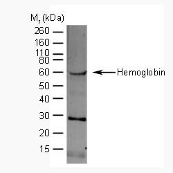 Hemoglobin Antibody gallery image 1
