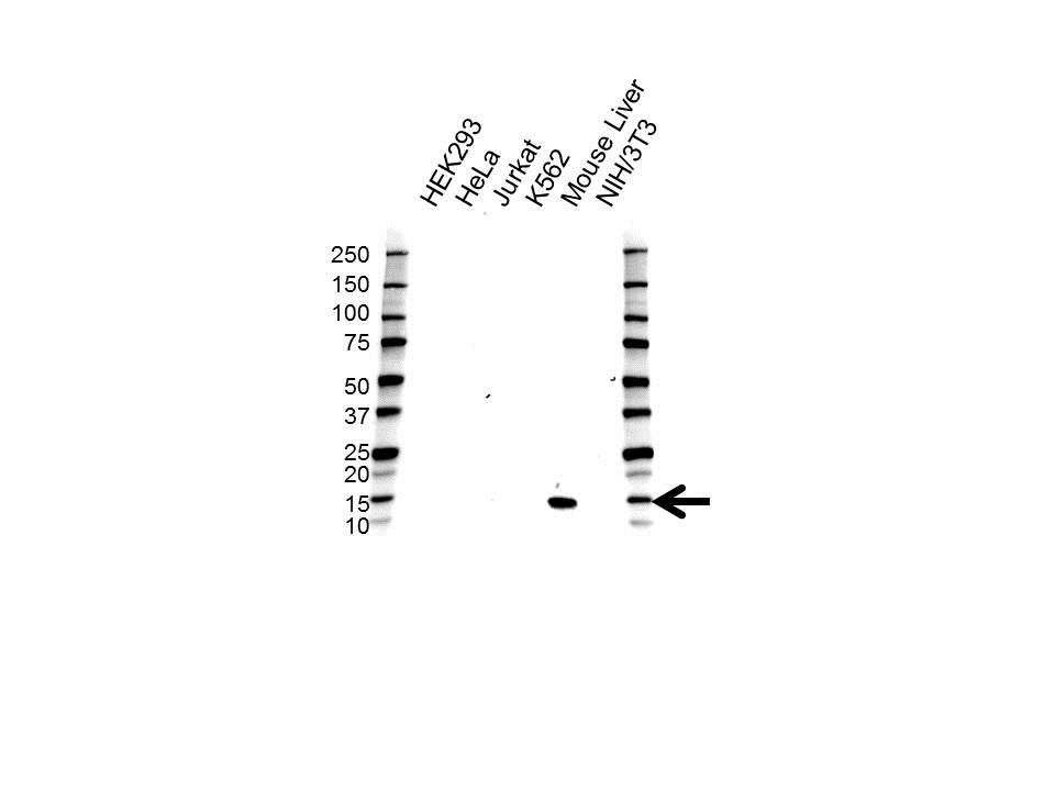 Hemoglobin Subunit Epsilon Antibody (PrecisionAb<sup>TM</sup> Antibody) gallery image 1
