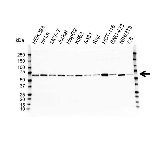 HEXIM1 Antibody (PrecisionAb<sup>TM</sup> Antibody) gallery image 1