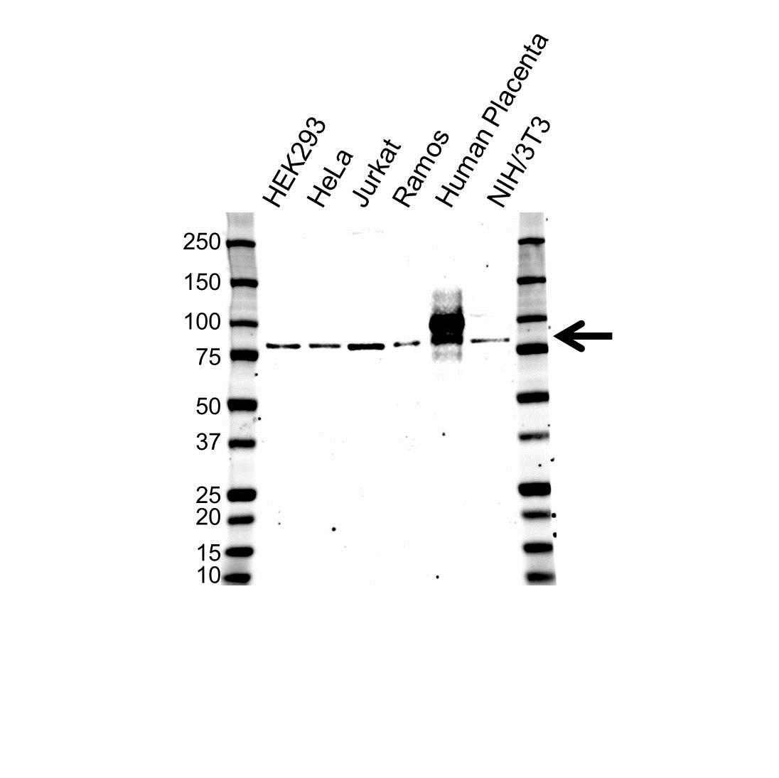 Hgf Antibody (PrecisionAb<sup>TM</sup> Antibody) gallery image 1