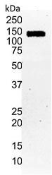 HIF1 Alpha Antibody | Halpha111a gallery image 2