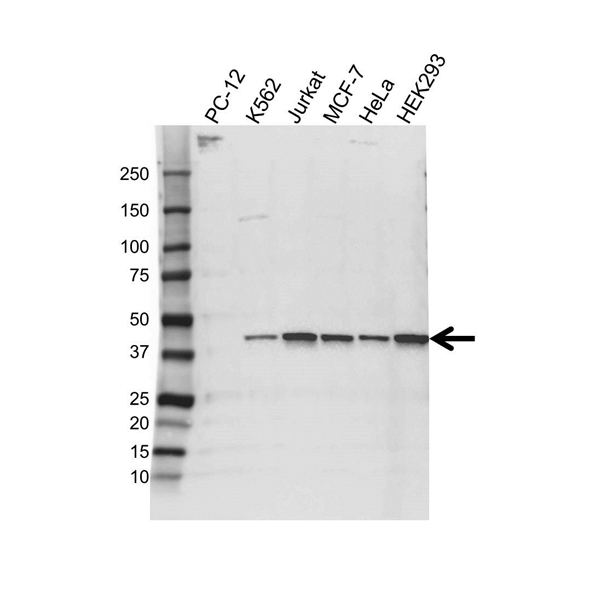 HIF1AN Antibody (PrecisionAb<sup>TM</sup> Antibody) gallery image 1