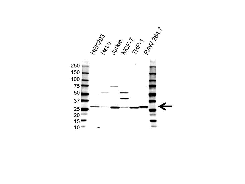 High Mobility Group Protein B2 Antibody (PrecisionAb<sup>TM</sup> Antibody) gallery image 1