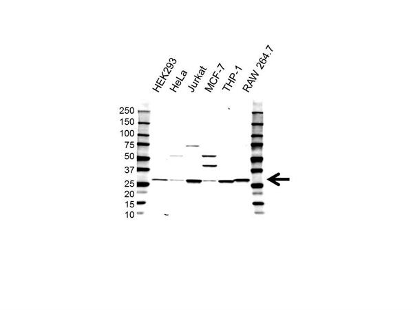 High Mobility Group Protein B2 Antibody (PrecisionAb<sup>TM</sup> Antibody) gallery image 1