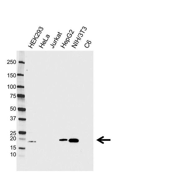 High Mobility Group Protein HMGI-C Antibody (PrecisionAb<sup>TM</sup> Antibody) gallery image 1