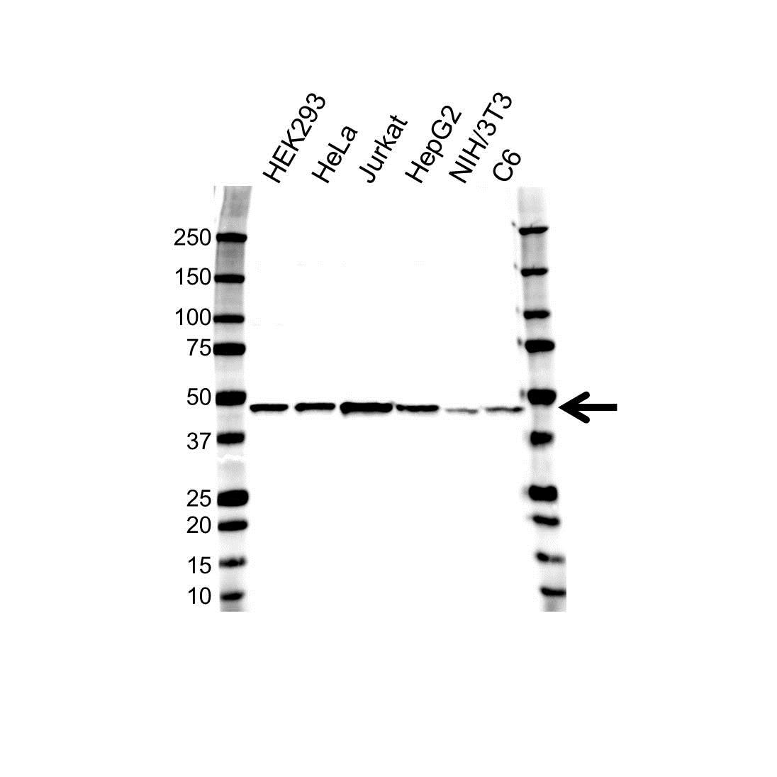 Histone Acetyltransferase 1 Antibody (PrecisionAb<sup>TM</sup> Antibody) gallery image 1
