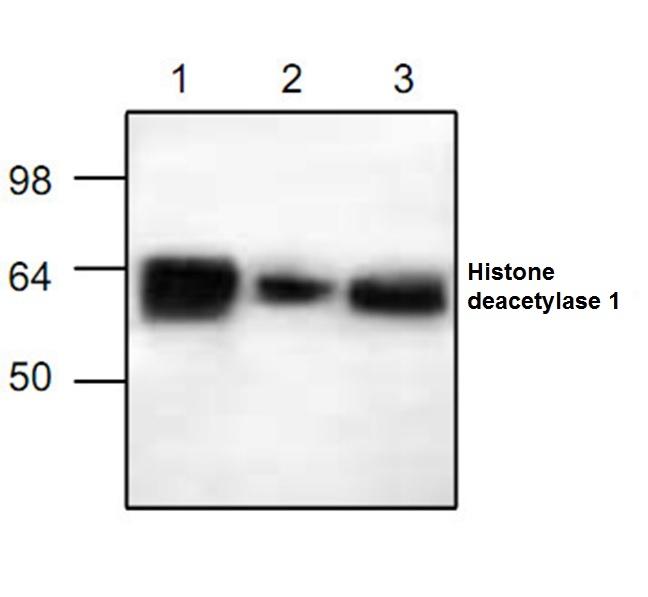 Histone Deacetylase 1 Antibody gallery image 1