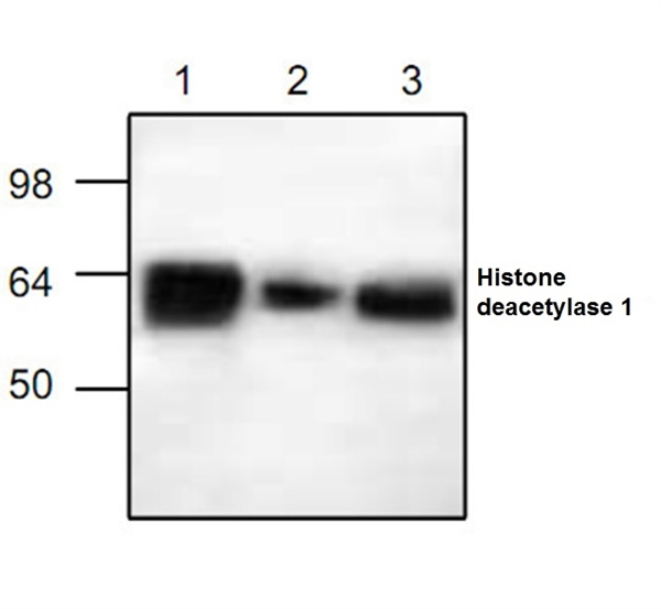 Histone Deacetylase 1 Antibody gallery image 1