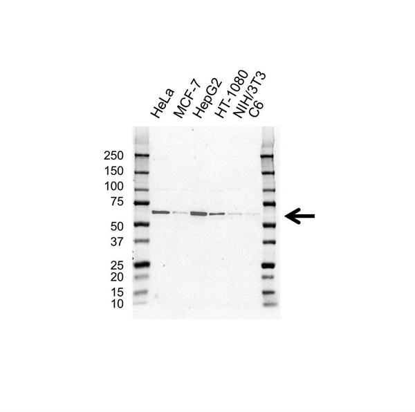 Histone Deacetylase 1 Antibody (PrecisionAb<sup>TM</sup> Antibody) gallery image 1