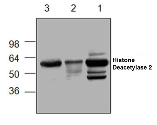 Histone Deacetylase 2 Antibody gallery image 1