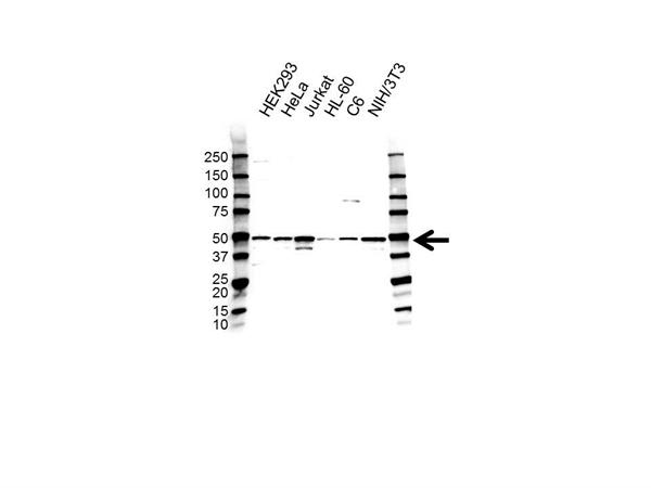 Histone Deacetylase 3 Antibody (PrecisionAb<sup>TM</sup> Antibody) gallery image 1