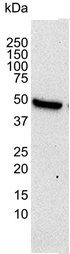 Histone Deacetylase 3 Antibody | 2A3 gallery image 3