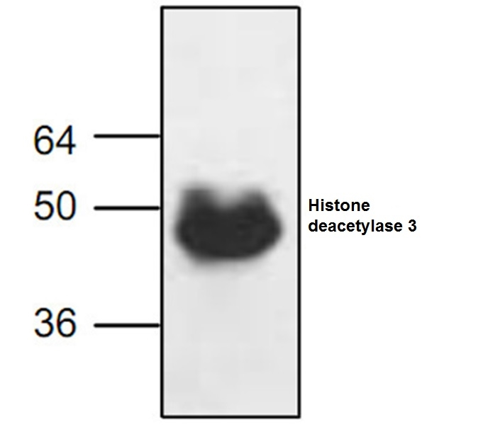 Histone Deacetylase 3 Antibody gallery image 2