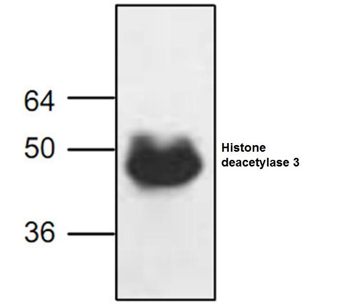 Histone Deacetylase 3 Antibody gallery image 1