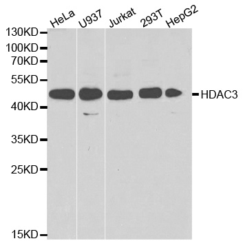 Histone Deacetylase 3 Antibody gallery image 1