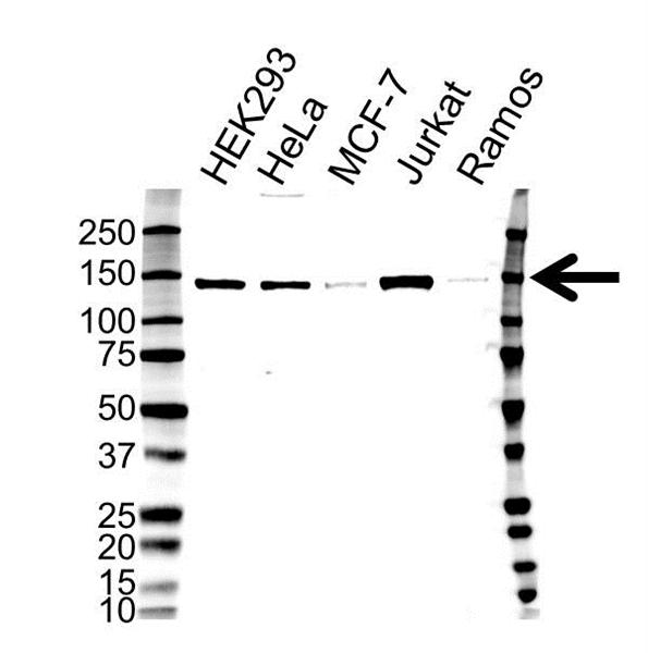 Histone Deacetylase 4 Antibody (PrecisionAb<sup>TM</sup> Antibody) gallery image 1