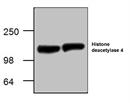 Histone Deacetylase 4 Antibody thumbnail image 1