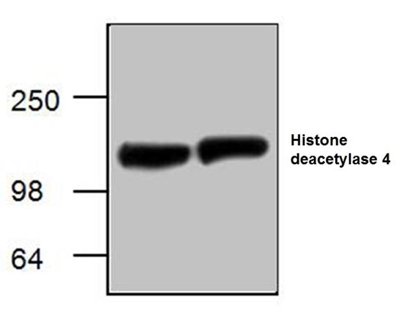 Histone Deacetylase 4 Antibody gallery image 1