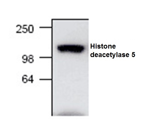 Histone Deacetylase 5 Antibody thumbnail image 1