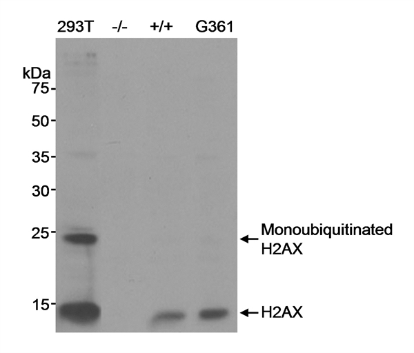 Histone H2AX Antibody gallery image 1
