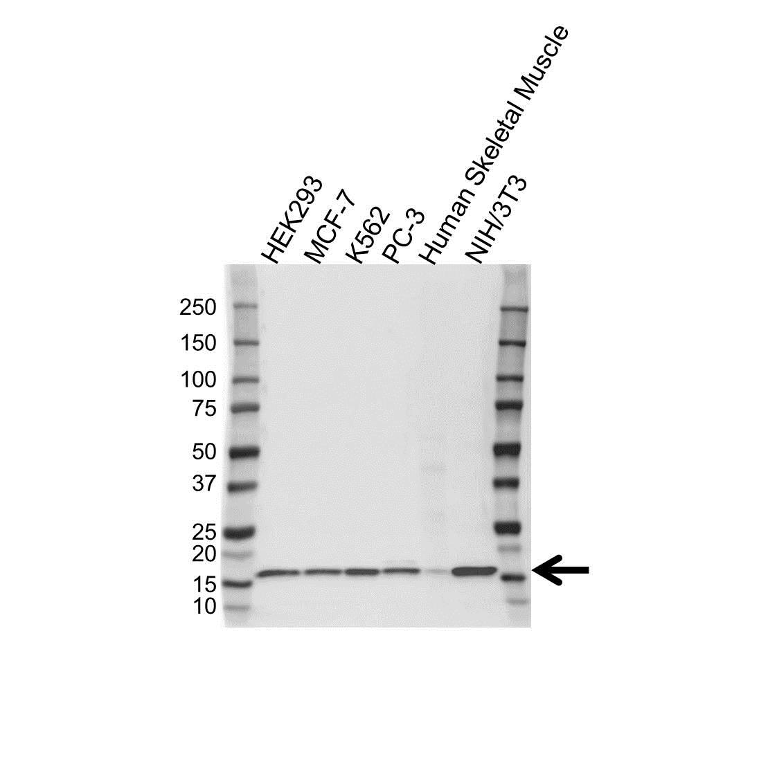 Histone H2B 1M Antibody (PrecisionAb<sup>TM</sup> Antibody) gallery image 1