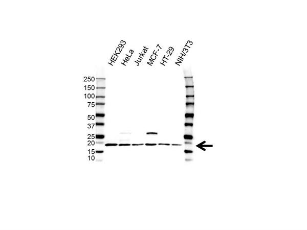 Histone H2BJ Antibody (PrecisionAb<sup>TM</sup> Antibody) gallery image 1