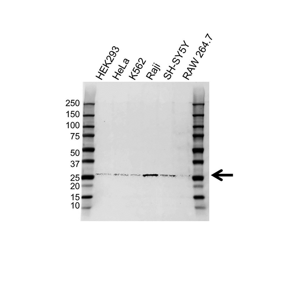 HLA-DQA2 Antibody (PrecisionAb<sup>TM</sup> Antibody) gallery image 1