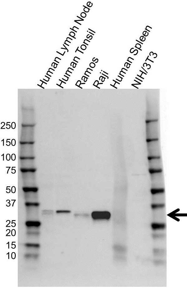 HLA DRB1 Antibody (PrecisionAb<sup>TM</sup> Antibody) gallery image 1