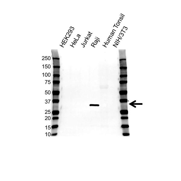 HLA DRB4 Antibody (PrecisionAb<sup>TM</sup> Antibody) gallery image 1