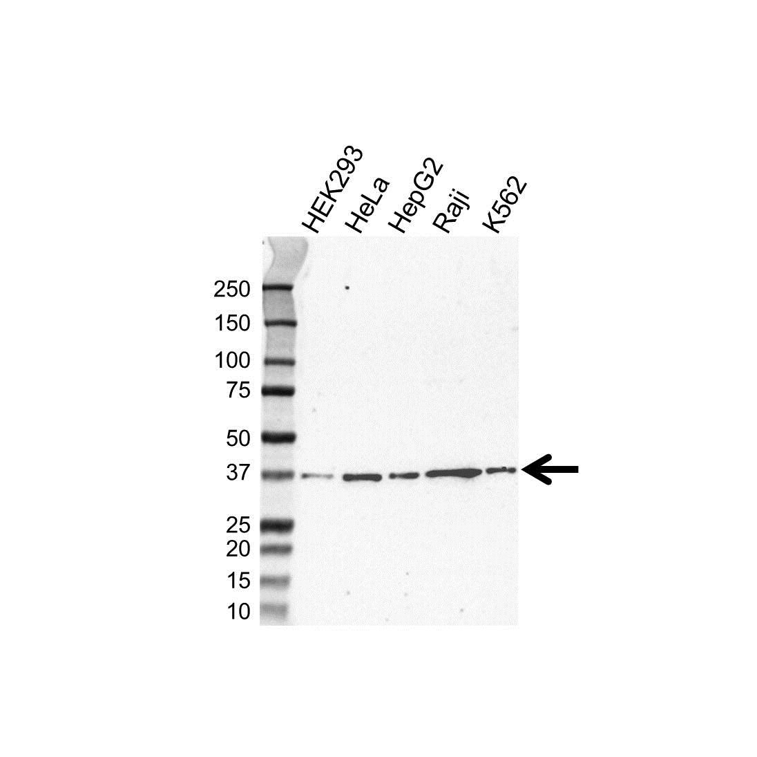 Hmbs Antibody (PrecisionAb<sup>TM</sup> Antibody) | UMAB144 gallery image 1