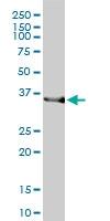 HMOX2 Antibody | 1D8-1A8 gallery image 2