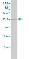 HMOX2 Antibody | 1D8-1A8 gallery image 1