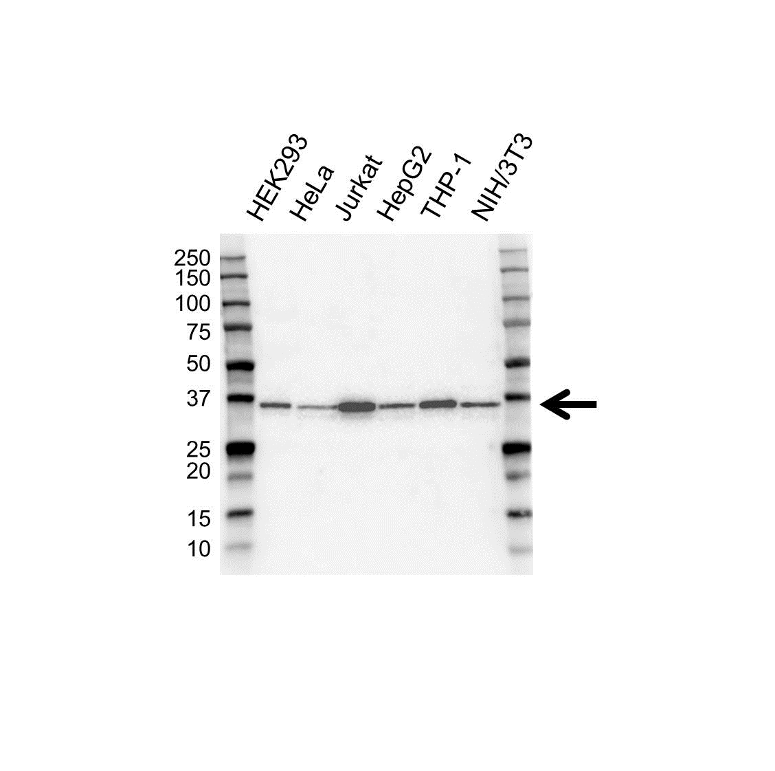 hnRNP A Antibody (PrecisionAb<sup>TM</sup> Antibody) gallery image 1
