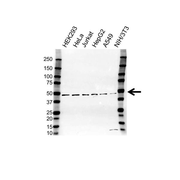 hnRNP G Antibody (PrecisionAb<sup>TM</sup> Antibody) gallery image 1