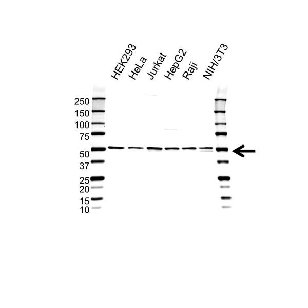 hnRNP H1 Antibody (PrecisionAb<sup>TM</sup> Antibody) gallery image 1