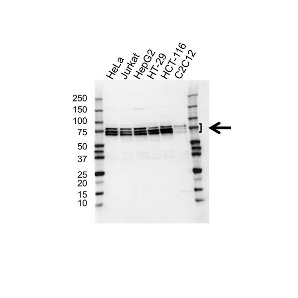 hnRNP Q / Syncrip Antibody (PrecisionAb<sup>TM</sup> Antibody) gallery image 1