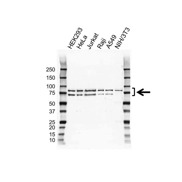 hnRNP R Antibody (PrecisionAb<sup>TM</sup> Antibody) gallery image 1