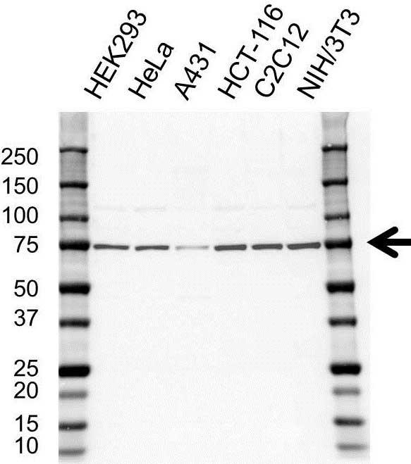 Hsc70 Antibody (PrecisionAb<sup>TM</sup> Antibody) gallery image 1