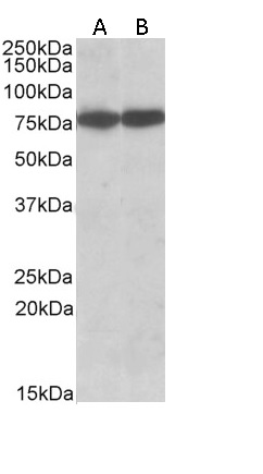 Hsc70 Antibody gallery image 2