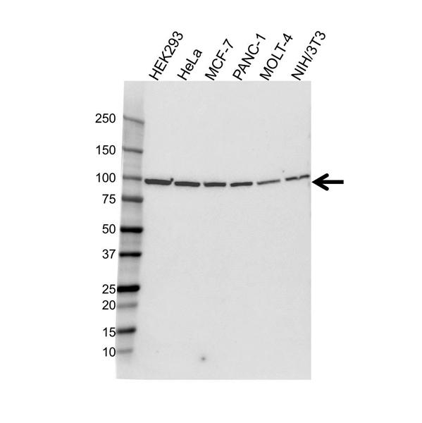 HSP90B1 Antibody (PrecisionAb<sup>TM</sup> Antibody) gallery image 1