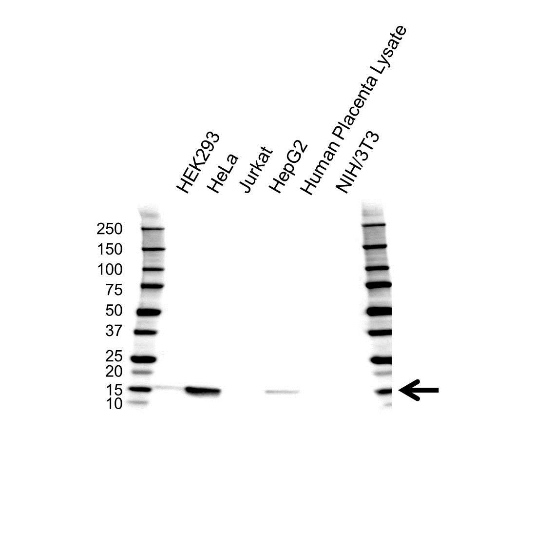 IFITM3 Antibody (PrecisionAb<sup>TM</sup> Antibody) gallery image 1