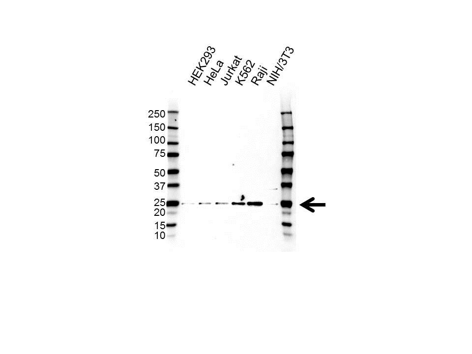 IFN ALPHA10 Antibody (PrecisionAb<sup>TM</sup> Antibody) gallery image 1