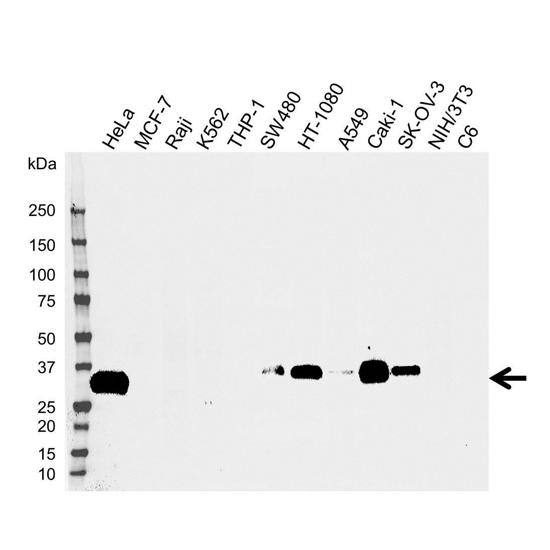 IGFBP-7 Antibody (PrecisionAb<sup>TM</sup> Antibody) gallery image 1