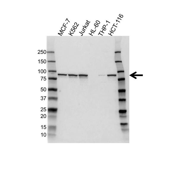 IKK Antibody (PrecisionAb<sup>TM</sup> Antibody) gallery image 1