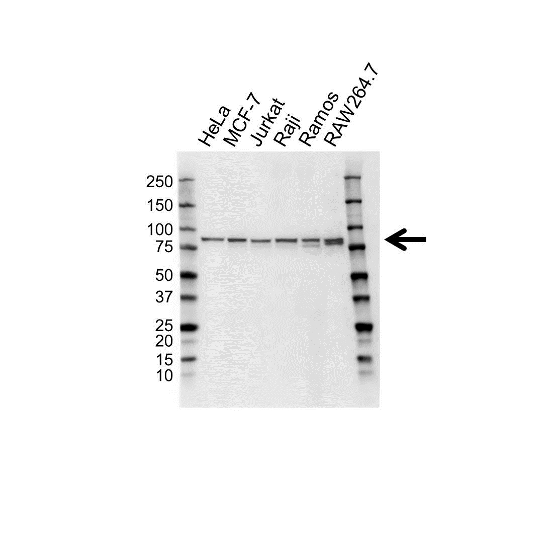 IKK Epsilon Antibody (PrecisionAb<sup>TM</sup> Antibody) gallery image 1