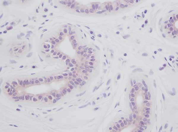 IL-1 Alpha Antibody gallery image 2