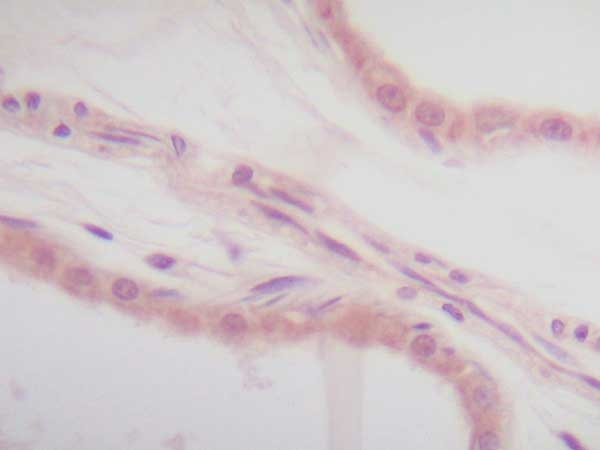IL-1 Alpha Antibody gallery image 3