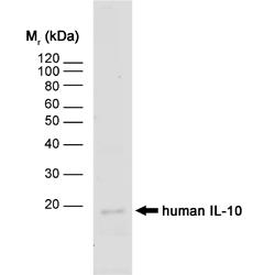 IL-10 Antibody | JES3-12G8 gallery image 1