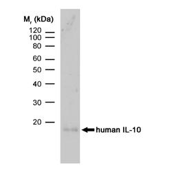 IL-10 Antibody | JES3-9D7 gallery image 1