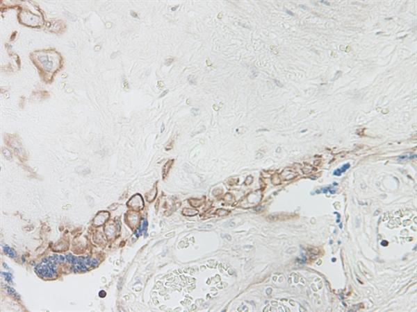 IL-15 Antibody gallery image 2